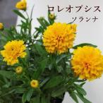 原種 シクラメン コウム 2.5号 ポット苗 山野草 ガーデニング 寄せ植え プランター