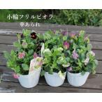 Yahoo!アグレアーブル花やアガパンサス 二季咲き 5号 青 白 花苗 草花 タキイ 限定新商品