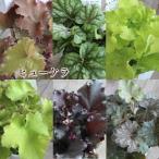 ヒューケラ 宿根草 お洒落なカラーリーフ 寄せ植え 3.5号 苗 常緑多年草 花壇 シェードガーデン
