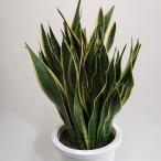 生花 サンスべリア(トラノオ)高80×巾35cm