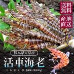 グルメ ギフト 活 車海老 くるまえび 熊本県天草産 約500g 15〜22尾入り 送料無料
