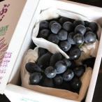 高尾ぶどう 葡萄 山形県産 大粒 秀品 約1.4kg 2〜3房入り 送料無料 生産者限定 大野さん