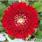 赤のガーベラ【産地直送・1本〜お好きな本数で】