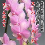ミディ胡蝶蘭スーパーマーメイド3〜4本立ち