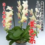 ミディ胡蝶蘭黄色系3〜4本立ち