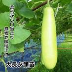 大長夕顔苗 10.5cm黒ポット