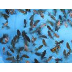 金魚 No02 桜 錦 当歳魚 全長約6.5cm前後  金魚 3尾セット 金魚