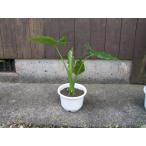 クワズイモ は学名Alocasia odora。