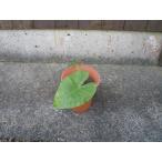 クワズイモは学名Alocasia odora。