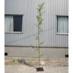 人工竹 黒竹 バンブーツリー 270cm (造花 インテリア 観葉植物 コンパネベース 坪庭 販売 大型)