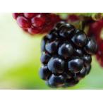 ブラックベリー(大株)木苺 食用可 果実 植木 庭木 苗木 低木 落葉半つる
