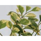 シマトネリコ(斑入り) 洋風ガーデン シンボルツリー 植木 庭木 苗木 常緑低木