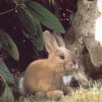 ケーセン ぬいぐるみ < ウサギの子 > KOESEN ドイツ 3910 J30−1