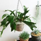 【送料無料】 コウモリラン 観葉植物 ビザールプランツ 珍奇植物