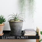 ディッキア ニッケルシルバー 観葉植物 ビザールプランツ 珍奇植物【送料無料】
