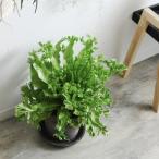 【送料無料】 アスプレニウム レズリー 観葉植物 ビザールプランツ 珍奇植物