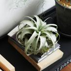 チランジア エアプランツ キセログラフィカ 観葉植物 ビザールプランツ 珍奇植物【送料無料】