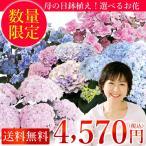 母の日 2018 花 鉢植え アジサイの鉢植え あじさい 選べる 色 ギフト 送料無料