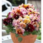 パンジーの苗・ムーランフリル・キャンティータイプ ミックス3色植え(3ポットセット)秋まき 苗 秋植え