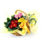 花 鉢植え プリムラとミニ観葉の寄せ鉢 お祝い バースデー