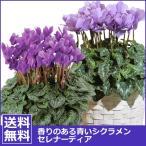 青いシクラメン 花 鉢植え 香りある青いシクラメン セレナーディア アロマブルー ライラックフリル 鉢植え5号鉢 お祝い バースデー プレゼント 年越し・お歳暮