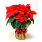 お歳暮 クリスマス バースデーギフト ポインセチア鉢植え 誕生日の花 翌日配達