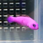Yahoo!アクアギフトクレナイニセスズメ 4-6cm±! 海水魚 メギス 餌付け 【PHセール対象】【メギス】