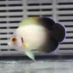 ナメラヤッコ 約6-8cm± !海水魚 ヤッコ 15時までのご注文で当日発送【ヤッコ】