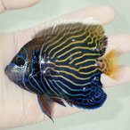 【現物1】タテジマキンチャクダイ 11.5cm± スレ有! 海水魚 ヤッコ 15時までのご注文で当日発送【ヤッコ】