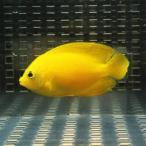 ヘラルドヤッコ 6-8cm±! 海水魚 ヤッコ 餌付け 15時までのご注文で当日発送【ヤッコ】