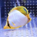 サントスバタフライ 6-8cm±! 海水魚 チョウチョウウオ 餌付け 15時までのご注文で当日発送【チョウチョウウオ】