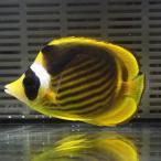 レッドシーラクーン 約7-9cm±! 海水魚 チョウチョウウオ 餌付け!15時までのご注文で当日発送【チョウチョウウオ】