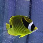 Yahoo!アクアギフトチョウハン 6-8cm± 海水魚! チョウチョウウオ 【多少のヒレ欠けがあります】【PHセール対象】【チョウチョウウオ】