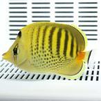 シチセンチョウ 6-9cm±! 海水魚 チョウチョウウオ 餌付け15時までのご注文で当日発送【PHセール対象】【チョウチョウウオ】