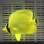 アミチョウ 4-7cm±! 海水魚 チョウチョウウオ 状態良好 餌付け15時までのご注文で当日発送【チョウチョウウオ】