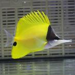 Yahoo!アクアギフトフエヤッコ 8-10cm± ! 海水魚 チョウチョウウオ 餌付け 【多少のヒレ欠けあり】【PHセール対象】【チョウチョウウオ】