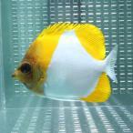 カスミチョウ 7-9cm±! 海水魚 チョウチョウウオ 餌付け 【PHセール対象】【チョウチョウウオ】