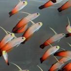 ハタタテハゼ 5-7cm±! 海水魚 ハゼ 餌付け 【PHセール対象】【ハゼ】