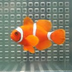 Yahoo!アクアギフトスパインチークアネモネ【1匹】! 海水魚 クマノミ 餌付け 【PHセール対象】【クマノミ】