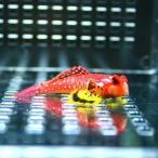 ルビーレッドドラゴネット 海水魚 ハゼ! 状態良好 ミヤケテグリsp.【PHセール対象】【テグリ】