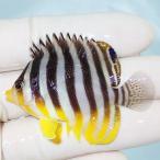 【現物3】シマヤッコ 6.5cm±! 海水魚 生体 15時までのご注文で当日発送【ヤッコ】