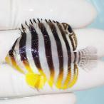 【現物6】シマヤッコ 7.5cm±!海水魚 生体 15時までのご注文で当日発送【ヤッコ】