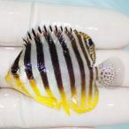 【現物7】シマヤッコ 7cm±! 海水魚 生体 15時までのご注文で当日発送【ヤッコ】