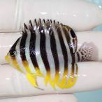 【現物11】シマヤッコ 7.5cm± ! 海水魚 生体 15時までのご注文で当日発送【ヤッコ】