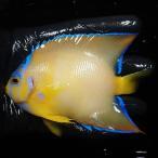 【現物23】クイーンエンゼル 6.5cm± !海水魚 ヤッコ 15時までのご注文で当日発送【ヤッコ】