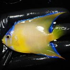【現物31】クイーンエンゼル 6cm± !海水魚 ヤッコ 15時までのご注文で当日発送【ヤッコ】