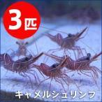 キャメルシュリンプ 【3匹】 3-5cm±(A-0485) 海水魚 サンゴ 生体