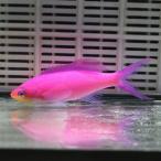 パープルクィーンアンティアス 1匹 6-8cm! 海水魚 ハナダイ  15時までのご注文で当日発送【ハナダイ】