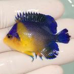 【現物35】スミレヤッコ 6cm±! 海水魚 ヤッコ 15時までのご注文で当日発送【ヤッコ】