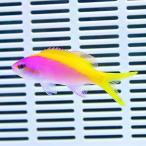 エバンスアンティアス 3匹セット!5-7cm± 海水魚 ハナダイ 餌付け 15時までのご注文で当日発送【ハナダイ】